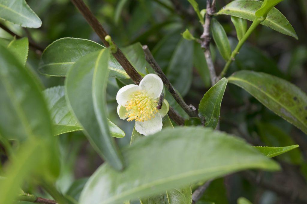 huile-essentielle-arbre-a-thé